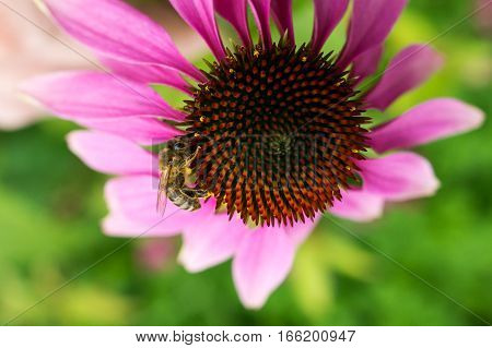 Close up image of a bee on echinacea flower