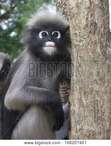 Close up Dusky leaf monkey on  tree