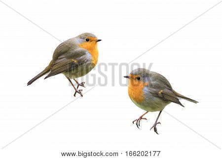 two little birds Robins on a white isolated background
