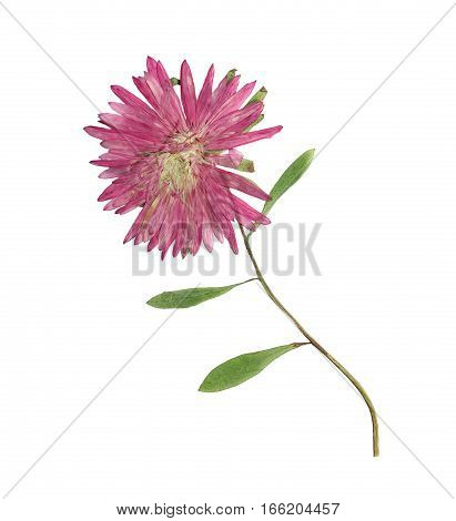 Pressed and dried flowers aster (Michaelmas daisy) on stem with green leaves. Isolated on white background. For use in scrapbooking pressed floristry (oshibana) or herbarium.