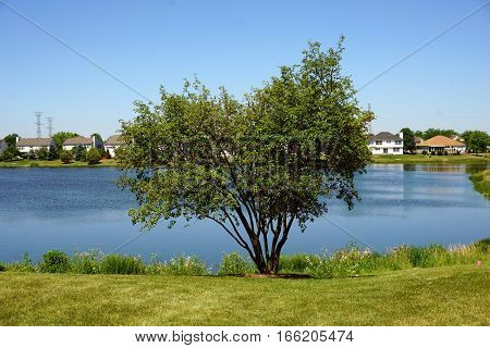 A serviceberry bush (also called Amelanchier, shadbush, shadwood, shadblow, sarvisberry, sarvis, juneberry, saskatoon, sugarplum, wild plum, wild pear, and chuckley pear) stands beside a small lake in Joliet, Illinois during June.