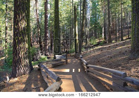 Hiking through the Tuolumne Grove of Giant Sequoias via the Tuolumne Grove Trail, Yosemite National Park, California.