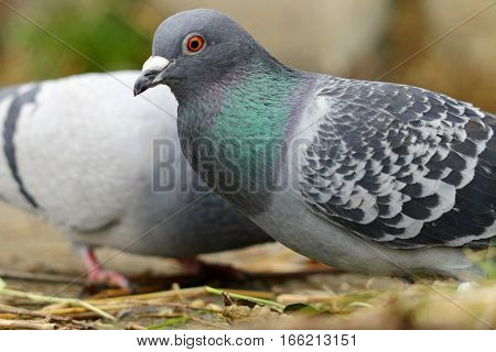 A feral pigeon with green iridescent neck feathers