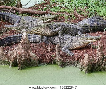 Alligators resting on the bank in the swamp