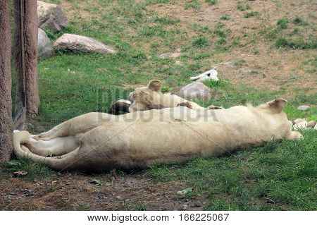 The white lion sleeping on the grass