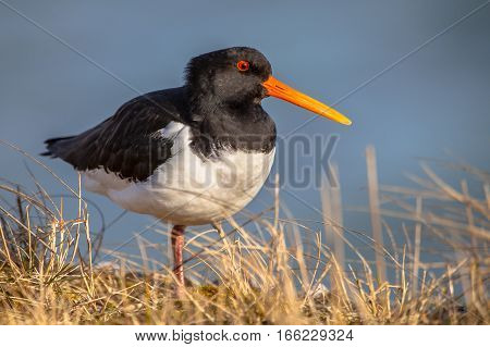 Common Pied Oystercatcher