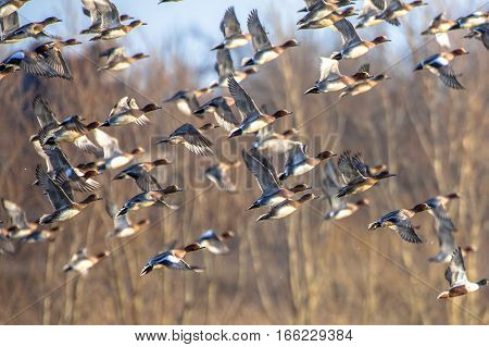 Flock Of Migrating Eurasian Wigeon Ducks