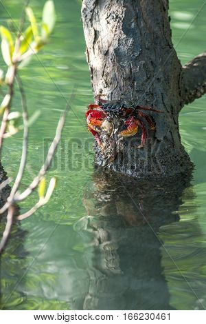 Sally Lightfoot Crab ore Red cliff crab sits on a branch in the mangrove swamp Ceara state Brazil