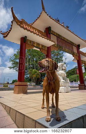 June 17 2016 Panama City Panama: tourist dog in front of 'Mirador de las Americas' a high historical and symbolic value monument marks the 150 years Chinese presence in Panama.