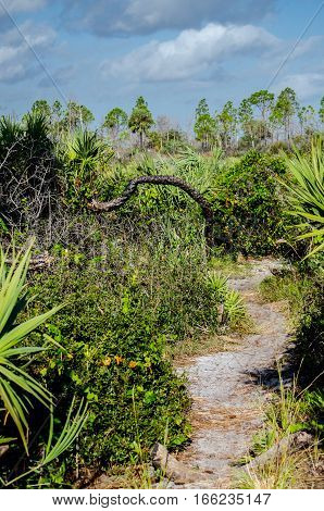 A WINDING DIRT PATH TO A CHARRED PALM TREE WHICH HAS GROWN NEW FRONDS