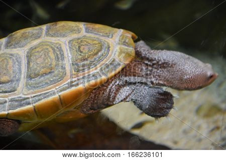 A Big Colorful Turtle Swimming in Water