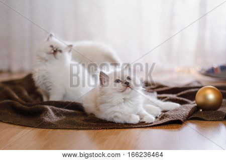 Ragdoll blue point little kitten on a colored background studio Christmas and New Year holidays and celebration