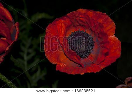 poppy and a green leaves at night