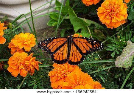 Monarch Butterfly on an orange marigold flower