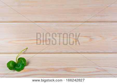 Closeup shamrock setup on rustic wooden background. St. Patricks day greeting card. Three-leaves clover Irish festival symbol. Copy space.