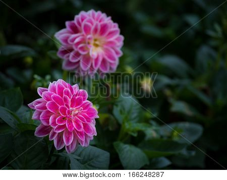 Pink Dahlia Figaro flower in garden with copy space Low key Tone