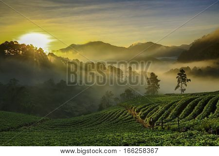 Misty Morning Sunrise In Strawberry Garden At Doi Ang Khang Mountain Of Thailand- Burma Border, Chia