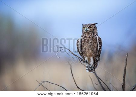 Spotted Eagle Owl sitting perched on a tree branch as it is getting dark after sunset. As they are nocturnal it's problably getting ready to hunt.