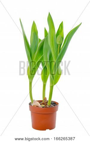 Beautiful Young Seedling Tulips With Green Leaves In Flower Pot Is Isolated On White Background, Clo