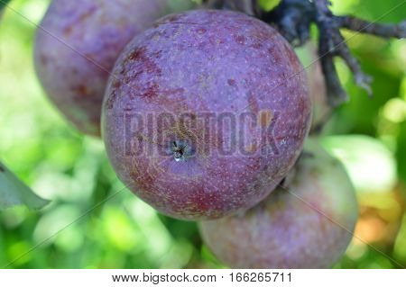 Apples In Orchards