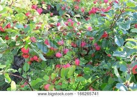 Apple Orchards Farm