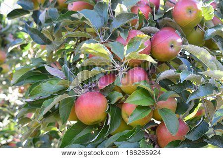 Apple Orchard And U-pick