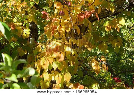 Pine Tree Apple Orchard