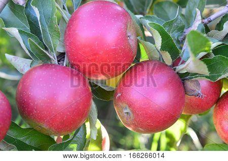 U-pick Apple Orchard