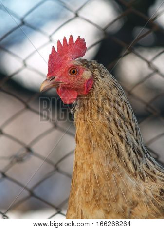 chickens are the most common type of poultry
