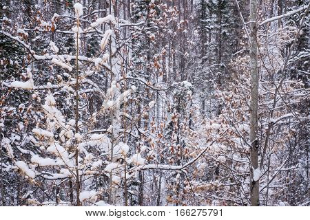 View of snow-covered impenetrable forest in Siberia