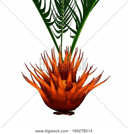 Cycas is the type genus and the only genus recognised in the family Cycadaceae.