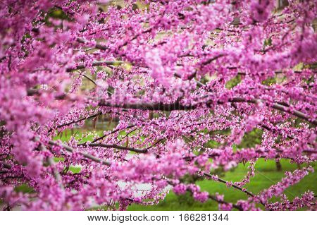 Pink blossom Judas tree over nature background
