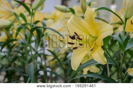 Yellow Asiatic lily flower in the garden