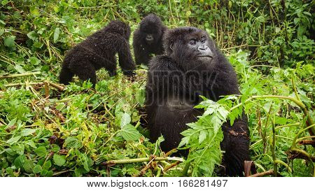 Front view of mountain gorilla thinking in the forest while baby gorillas play behind her