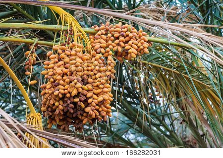 Close-up of date palm with colourful fruit clusters