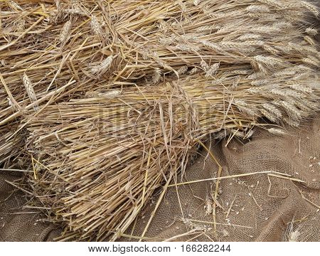 background of ripe yellow cut ears of wheat on burlap sack