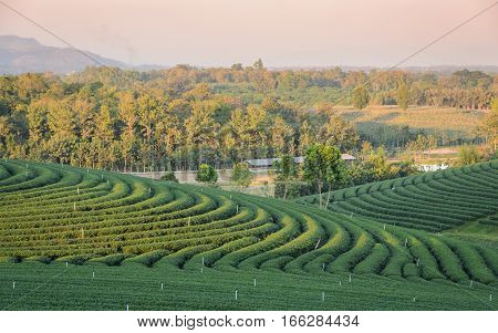 Beautiful scenery of green tea plantation at sunset in Thailand