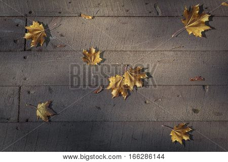 Yellow leaves as notes on a stave formed the autumn nocturne of wooden boards