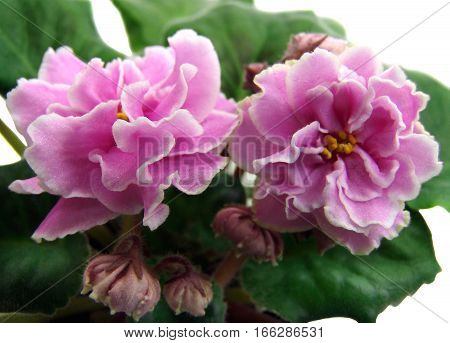 Flowers and buds of collection African violets