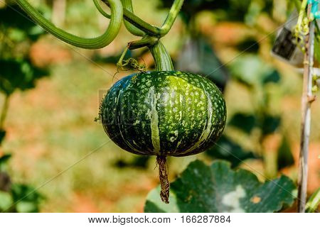 Winter squash or Pumpkin on its tree