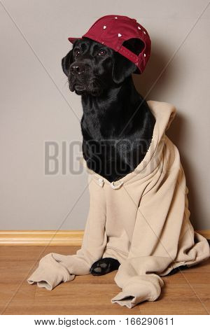 dog, labrador, puppy, dog sweater, pet, favorite pet, animal, black, sweater, cap, dog wearing a cap