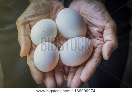 Hands holding fresh duck eggs from farm.