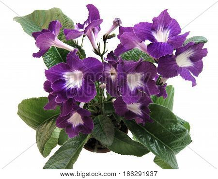 Blooming collection Streptocarpus