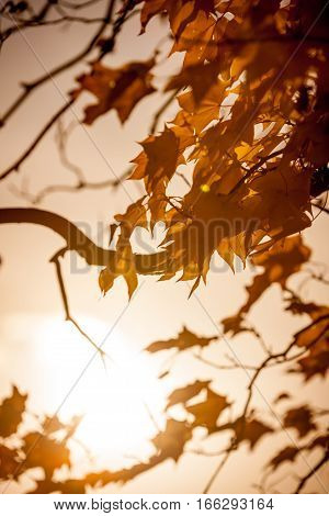 Backlit autumnal leaves with a low sun diminishing at the end of the day.