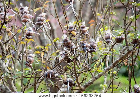 Agriculture - graft Wild Himalayan Cherry tree