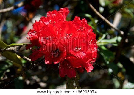 Close Up Red Azalea Or Rhododendron Arobreum