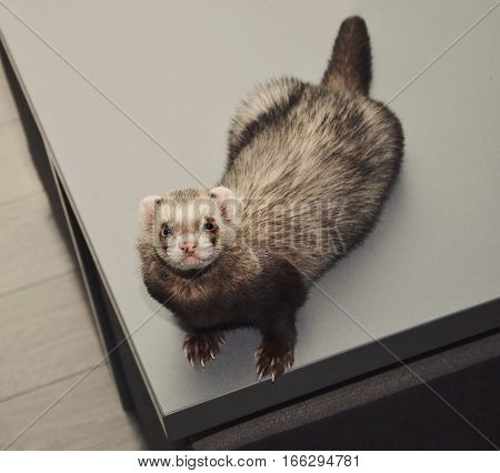 Funny ferret is sitting on a table and looking up top view