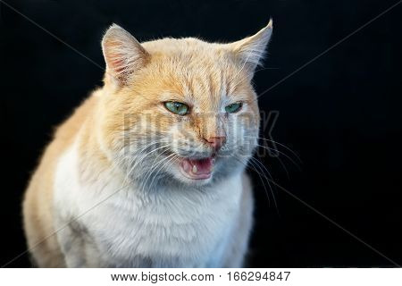 Beautiful angry ginger cat bares its fangs outdoors