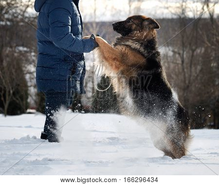 huge dog jumps on the owner. The snow flies. Dog plays asks for affection