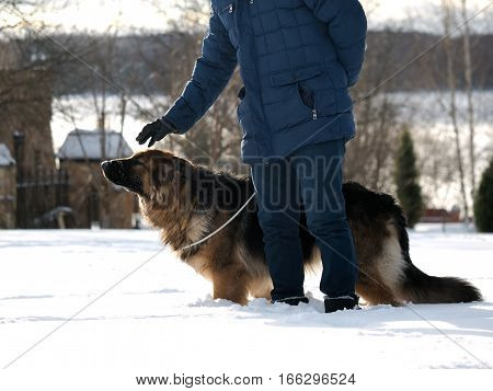 The owner walking a large dog. A man's hand petting the dog
